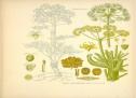 دانلود پروژه گیاه دارویی انغوزه